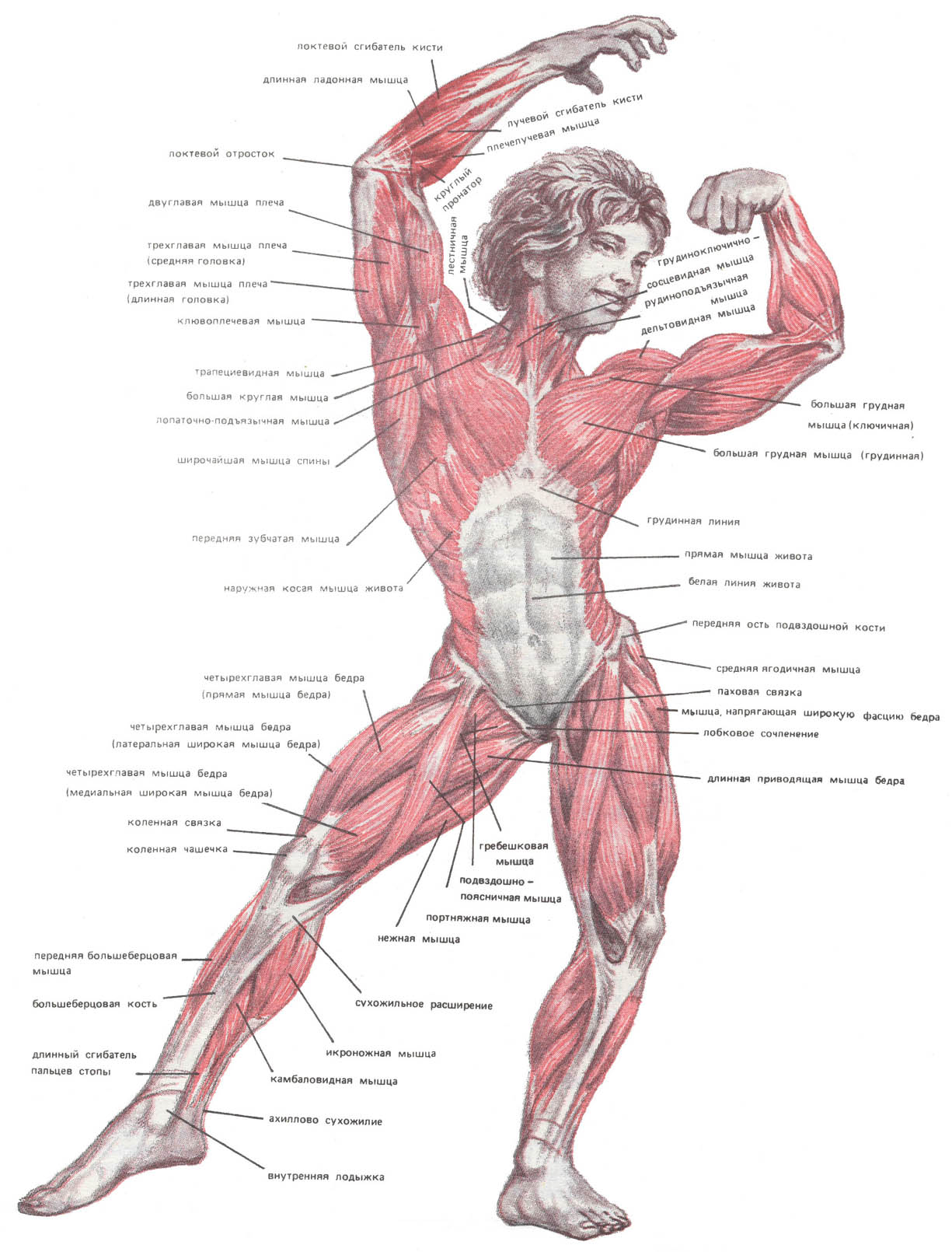 Мышцы человека в порно