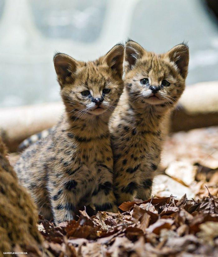 Дикие кошки 1