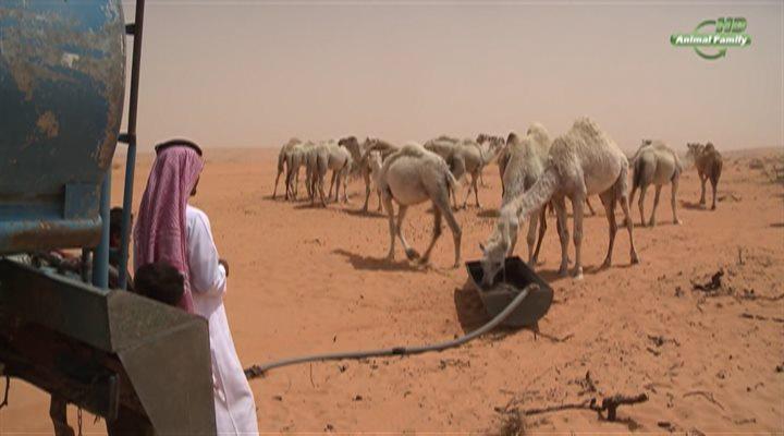 ������� ������� / Ships of the desert (2012) HDTVRip