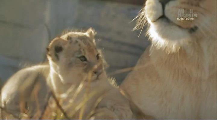 Animal Planet. Королева львов / The Lion Queen (1-6 серии из 6) (2015) HDTVRip