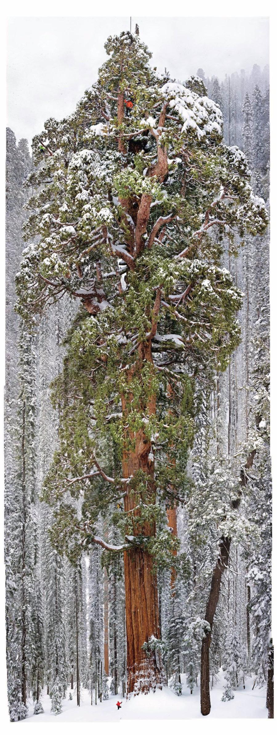 Старое высокое дерево