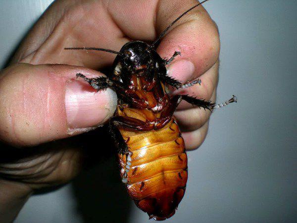Японский конкурс с тараканом