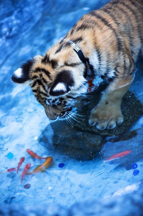 Тигренок и рыбки
