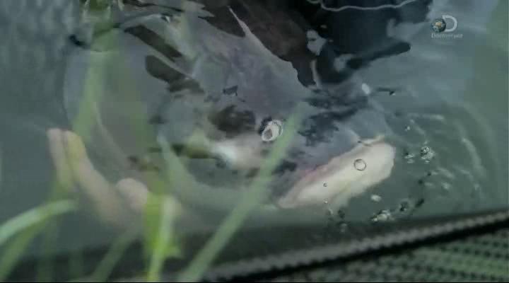 Discovery. Речные монстры [07 сезон: 01-06 серии] | HDTVRip