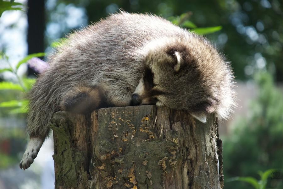 Спящий енот