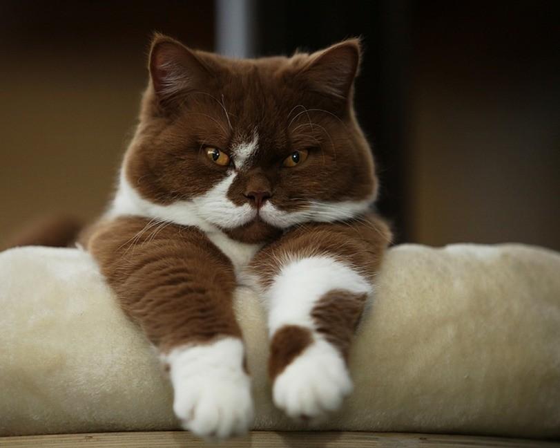 Шоколадный котейка
