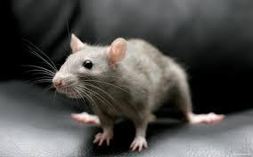 Крысеныш