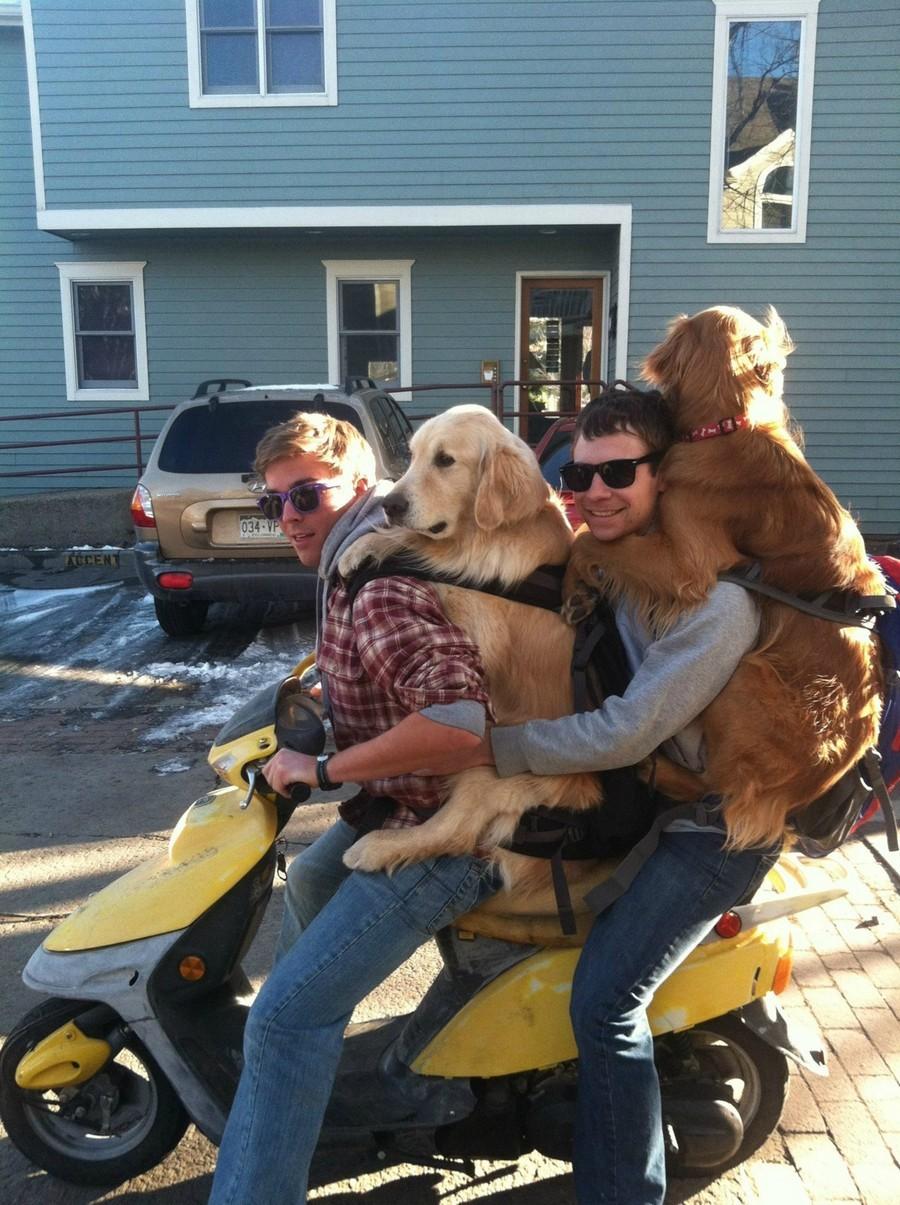 На скутере с псами