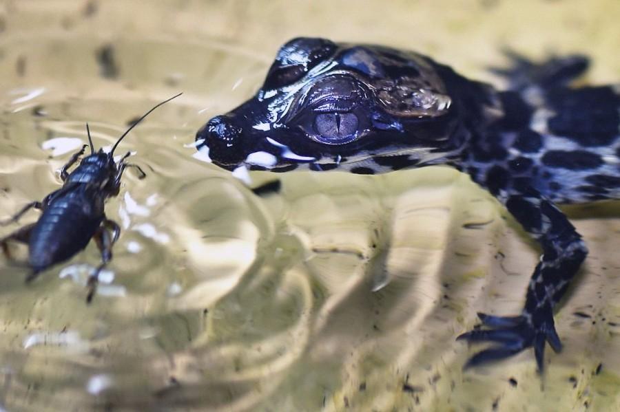Геккон в воде