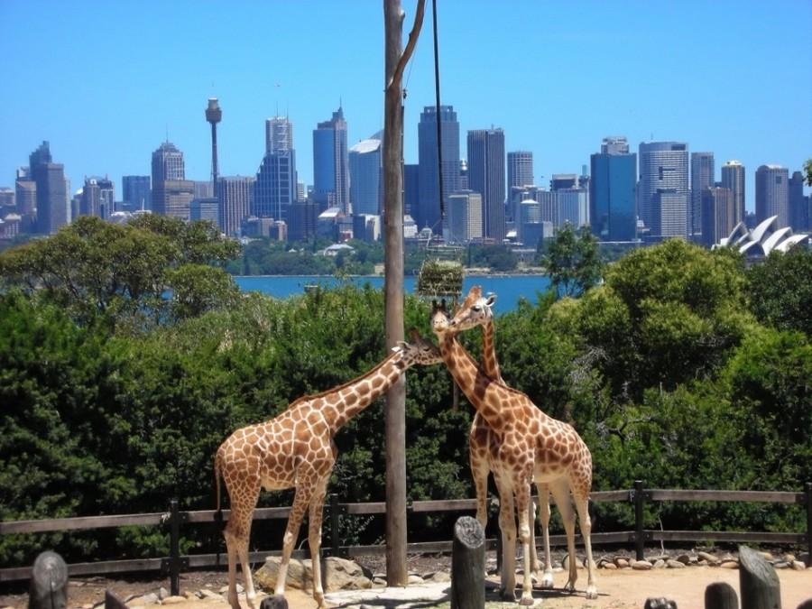 Жирафы в пригороде