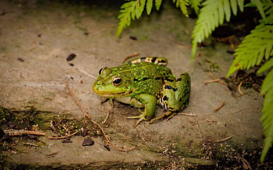 Прост жаба