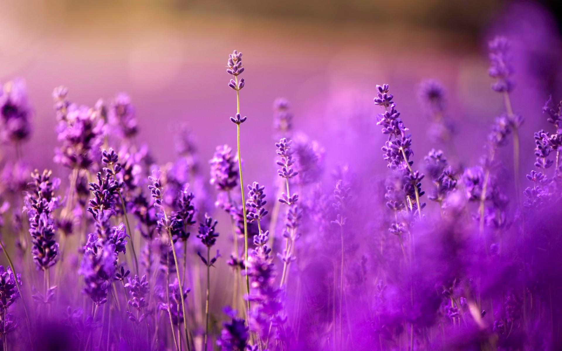 lavender background wallpaper - 1200×675