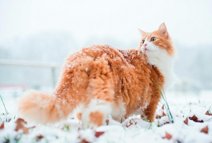 Рыжий на снегу