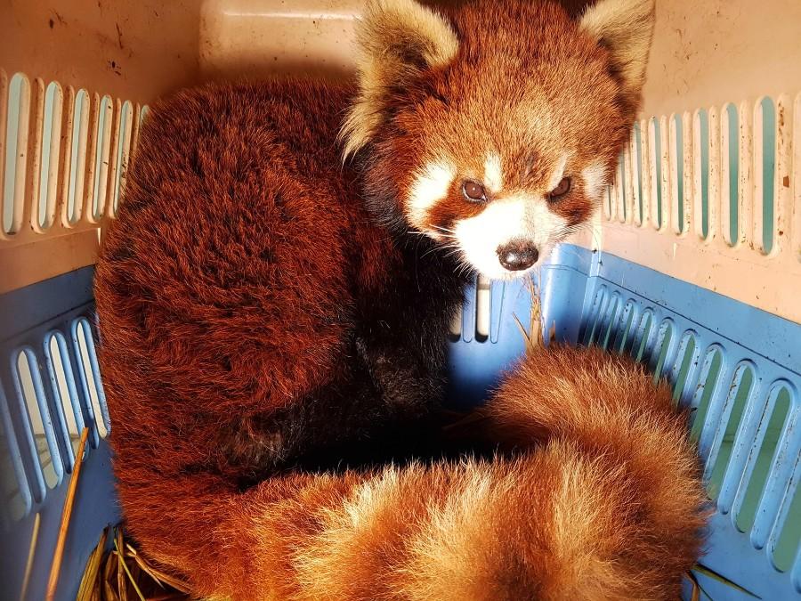 Красная панда в переноске