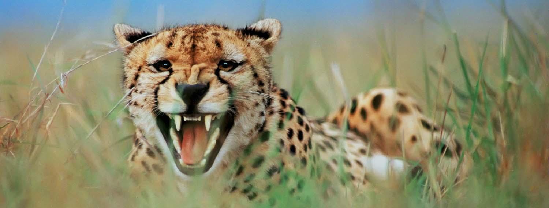 cheetah_1500 .jpg