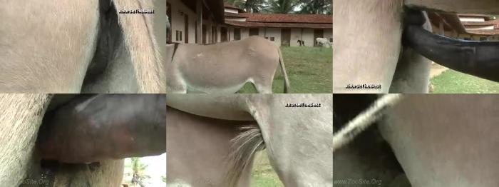 01e3fd162c9a36089ddcfeb91575d185 - Breeding Donkey Jack - Mating ZooSex Videos
