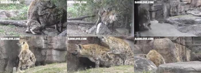 fa078265477add0084e80ccd2507e01b - Hyena Mating 3 Barnlovecom - Mating ZooSex Videos