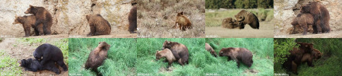 063826ffc6be5defd19ebc89eee81d40 - Bear Mating Bear Sex Bear Breeding Animal Sex Animals Mating